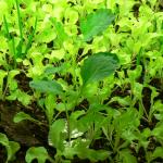 collards growing well under T5 bulbs