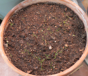 Carrot seedlings 1/5/2014