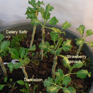 Celery Safir and Strawberry Spinach are doing quite well in my Collards pot