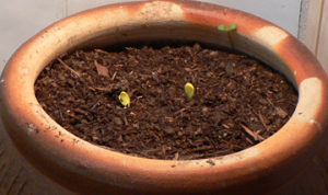 Golden Egg Squash seedlings
