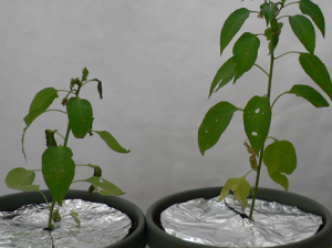 I've given my chili pepper plants some tinfoil to increase light for them