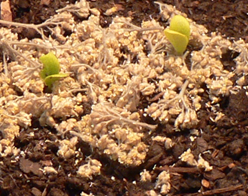 Munched squash seedling and its unmunched sibling surrounded by dry yarrow
